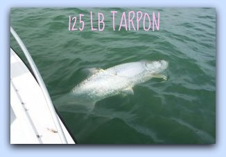 125 lb Tarpon on St.Petersburg fishing charters.