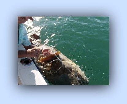 Florida Fishing charters Keeper Gag Grouper.
