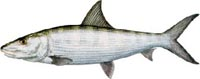 Bonefish Description | RM.