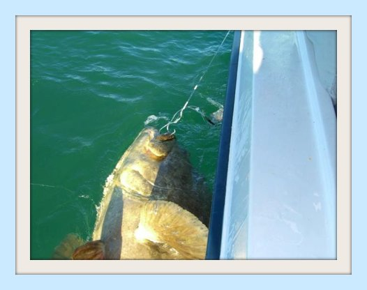 St Petersburg Beaches 450 to 500 pound Goliath Grouper caught by Justin on a Florida gulf coast fishing charter