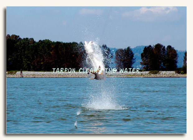 Jumping TARPON clears the water.