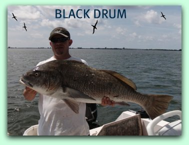 Tarpon fishing charters Fifty pound black drum fish caught by Capt Brad Masters fat cat fishing charters St.Petersburg Fl.