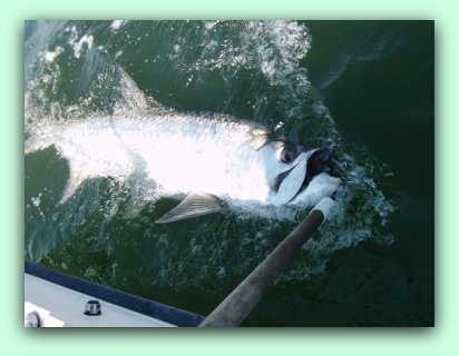 Let Fat Cat Fishing charters help you catch a Tarpon like this one you will never forget it.