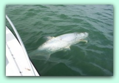 Large florida Tarpon fishing with fat cat fishing charters.